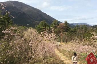 湯神社の桜